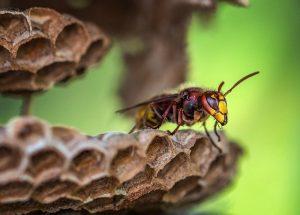 Hubení vos a sršní může být i bezpečné a rychlé. Foto: David Hablützel, Pixabay