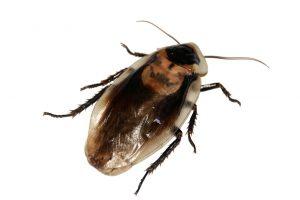 Odolní švábi vydrží bez příjmu potravy i tři měsíce. Foto: Kasya, Pixabay