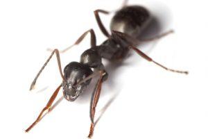 Hubení mravenců rychle a účinně